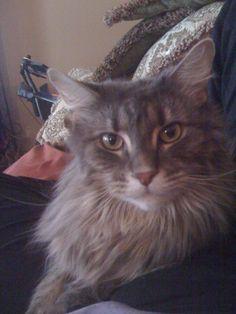 "Maine Coon Cat  ""Moe Moe Kitty"""
