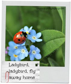 Ladybird, ladybird, fly away home! Beautiful and useful. Click through to find out more about these tiny creatures including why they may be in your home.