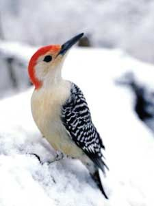 Red-bellied Woodpecker (Melanerpes carolinus) A Red-bellied Woodpecker can stick out its tongue nearly 2 inches past the end of its beak. The tip is barbed and the bird's spit is sticky, making it easier to snatch prey from deep crevices