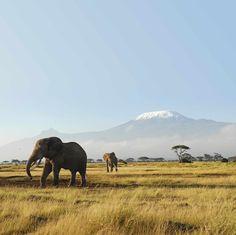 Parc national d'Amboseli, Kenya#Au pied du Kilimandjaro, le parc national d'Amboseli est l'un des plus vieux et le deuxième parc le plus visité du Kenya. Hemingway fut fasciné par le coin et s'en inspira pour écrire Les Neiges du Kilimandjaro. Le parc national d'Amboseli compte pas moins de 1 000 éléphants, des buffles, gnous, gazelles, antilopes, hippopotames…#http://urlz.fr/3hoF#wantedwallpapers.com