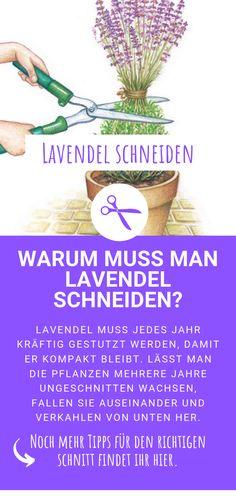 Lavendel schneiden: Warum muss man Lavendel schneiden Cutting lavender: Why do you have to cut lavender? / to cut Garden Bulbs, Planting Bulbs, Planting Flowers, Herb Garden, Indoor Garden, Outdoor Gardens, Diy Garden, Potted Plants Patio, Garden Plants