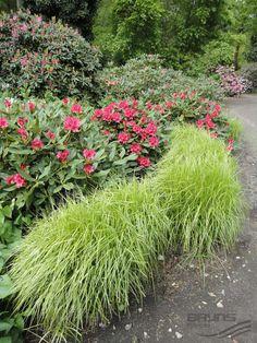 CAREX muskingumensis | Palm Sedge- shade, 2-3 'H, tolerates clay and damp soil