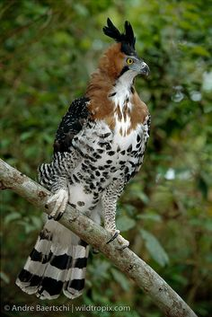ornate hawk-eagle is a bird of prey from the tropical Americas. This species is notable for its vivid colors, which differ markedly between adult and immature birds Pretty Birds, Beautiful Birds, Types Of Eagles, Bird Kite, Hawk Bird, Audubon Birds, Tier Fotos, Big Bird, Watercolor Bird