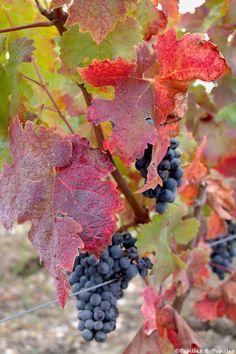 Juste avant la vendange Autumn Scenery, Flower Photos, Fresh Flowers, Grape Vines, Still Life, Vineyard, Flora, Leaves, Canning