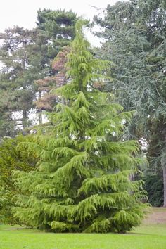 The Deodar cedar (Cedrus deodara) is an evergreen conifer tree that is favored for its weeping habit. It's used as a specimen tree and to line streets. Evergreen Trees Landscaping, Evergreen Landscape, Evergreen Garden, Conifer Trees, Landscaping Plants, Trees And Shrubs, Trees To Plant, Windbreak Trees, Natural Landscaping
