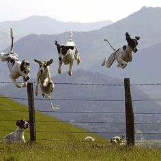 German Shorthaired pointers grabbing some serious air!
