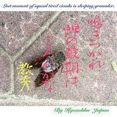 土の中 約5年 、 地上生活 約7日間 【 書道 教秀 JAPAN 】 Hiku