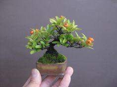 Tiny, tiny Bonsai!