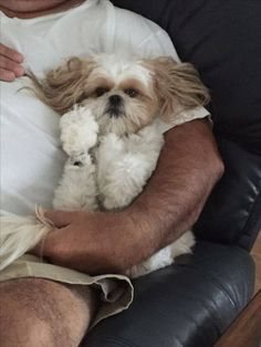 Shihtzu Time - The World of the loveable Shih Tzu Chien Shih Tzu, Shih Tzu Puppy, Shih Tzus, Shih Poo, Cute Puppies, Cute Dogs, Dogs And Puppies, Doggies, Boxer Puppies