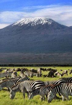 Zebras & black wildebeest graze near Mount Kilimanjaro, Tanzania.