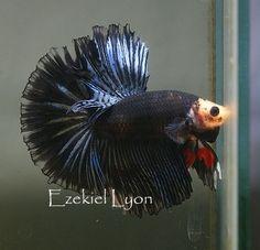 AquaBid.com - Item # fwbettashm1390150831 - Steel Lace Pie Bald HM <Interesting!> - Ends: Sun Jan 19 2014 - 11:00:31 AM CDT