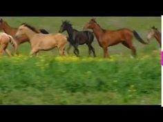 The Akhal-Teke horse breed - Golden Horses