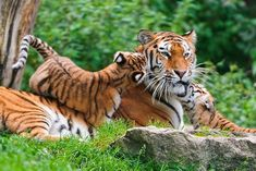 July 29 is International Tiger Day! Celebrate these endangered big cats with these adorable images.