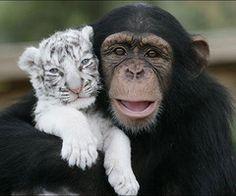 Snow leopard & chimpanzee