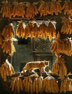 Corn on the Cob orange cat