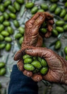 Our Olives in Palestine زيتونا Palestine Art, Olive Tree, Holy Land, Pictures Images, People Around The World, Belle Photo, Beautiful World, Olive Oil, Beautiful Pictures