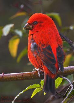 Scarlet Finch (M)