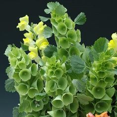 Molucella Bells of Ireland - Long known for its unique and excellent use as both a fresh and dried cut flower, it is the bell-shaped, green calyxes enveloping the tall spikes that give Bells of Ireland its common name. #gardentrends #flowergarden #flowers #bellsofireland
