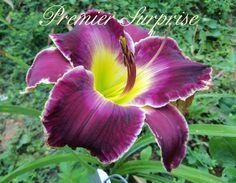 Premier Surprise (Salter, 2001) height 32in (81cm), bloom 5.5in (14.0cm), season M, Rebloom, Semi-Evergreen, Tetraploid, 35 buds, 5 branches, Purple self above green throat.