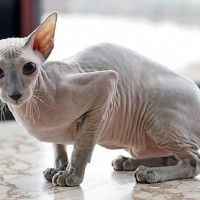 #dogalize Cat breeds: the Peterbald cat characteristics and behavior #dogs #cats #pets