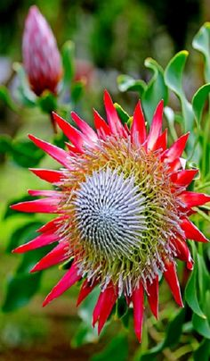 ✯ King Protea Flower Lovely summer flowers are a way to my heart…potted or f… - Modern Unusual Flowers, Unusual Plants, Rare Flowers, Exotic Plants, Amazing Flowers, Beautiful Flowers, Beautiful Gorgeous, Flor Protea, Protea Flower