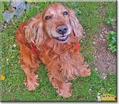 Read Schatz's story the English Cocker Spaniel from Predmeja, Slovenia and see his photos at Dog of the Day http://DogoftheDay.com/archive/2015/March/30.html