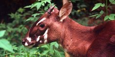 The Saola is critically endangered. Also it is the closest thing that we know exists to the unicorn.... (822 signatures on petition)