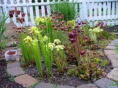 Sarracenia (carnivorous pitcher plant) bog garden