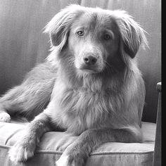 The most loyal dog of all! Bob the Nova Scotia Duck Tolling Retriever