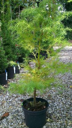 Cryptomeria japonica Elegans Group - ( Japanese Cedar ) Family Cupressaceae Green soft foliage during the summer that turns a mahogany plum colour in Atumn and Winter. Full sun to dappled shade. Plant Nursery, Plant Sale, Norfolk, Plum Colour, Level 3, Japanese, Group, Garden, Flowers