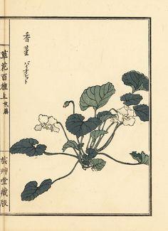 Sumire violet Viola mandshurica Handcoloured woodblock print by Kono Bairei from Kusa Bana Hyakushu Tokyo Yamada 1901