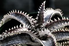 【Dyckia 'Black Ice'】