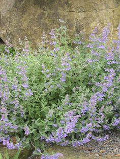 Blauminze (Nepeta x faassenii)