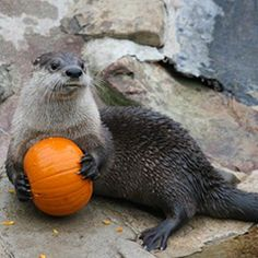 otter will not let anyone touch his pumpkin