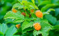Alaska in Spring | Salmon Berries... Yum, Yum