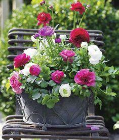 Romantisches Tete-a-Tete: Der Blumenkasten hat eine enorme Fernwirkung. 5 x Ranunkeln verschiedener Farbe (Ranunculus asiaticus-Hybriden)