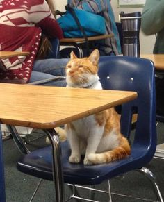 Where's the cat? Leland High School. Bubba even has his own student body card. He attends classes, and doesn't go home until all the afternoon sports are concluded.