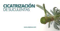 Cactus Y Suculentas, Herbs, Plants, Elsa, Gardens, Cactus Seeds, Growing Succulents, Ornamental Plants, Succulent Plants