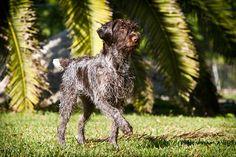 Wirehaired Pointing Griffon (Korthals Griffon / Griffon d'arrêt à poil dur Korthals) Dog