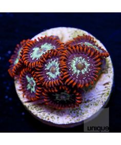 """Zoanthus sp. - Fire and Ice Zoanthids - 1"""" WYSIWYG Frag - CORAL"""