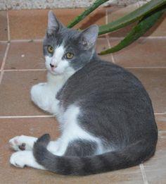 ARTHUR - Gato adoptado - AsoKa el Grande