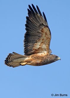 Swainson's hawk - now THAT is a streamline...