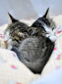 Two Snuggly Cuddly Ex-feral Kittens - Love Meow Kittens And Puppies, Cute Cats And Kittens, Kittens Cutest, White Kittens, Feral Kittens, Ragdoll Kittens, Tabby Cats, Funny Kittens, Bengal Cats