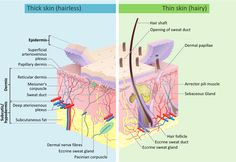 Major functions of the skin - Improving your life health and family