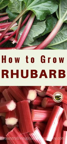 Want to grow Rhubarb? Here's what you want to know - plant Rhubarb in your yard!