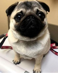 ^^Just click the link to learn more miniature pugs for sale. Check the webpage to get more information** Viewing the website is worth your time. Cute Pug Puppies, Cute Pugs, Dogs And Puppies, Terrier Puppies, Bulldog Puppies, Boston Terrier, Baby Pugs, Puppy Care, Cute Animal Drawings