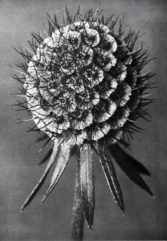 "Karl Blossfeldt, Scabiosa Columbaria, from ""Urformen der Kunst"" [""Art Forms in Nature""], Edition, 1929 Karl Blossfeldt, Bio Design, Scabiosa Columbaria, Land Art, Natural Form Art, White Plants, Seed Pods, Patterns In Nature, Botanical Art"