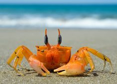Let& learn about the different types of crabs! Just how many crabs are there? There are about five thousand sea crab species alone! But we& going t. Crab Species, Alaska Sealife Center, Sea Crab, Surf, Ocean Creatures, Fauna, Ocean Life, Marine Life, Under The Sea