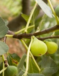 Growing figs in a greenhouse