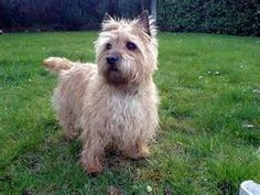 Cairn Terrier Pictures Page 6